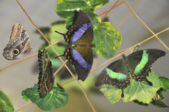 Tropical butterflies. Sit on leaves Stock Photo