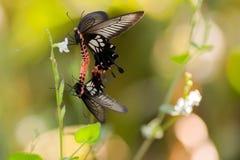 Tropical butterflies breeding Royalty Free Stock Photo