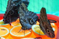 Exotic Butterfly Caligo eat oranges. royalty free stock photo