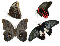 Tropical butterflies. Collection of tropical butterflies exotic royalty free stock photos