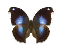 Tropical butterflies collection Napeocles jucunda Stock Photo