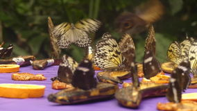 Tropical butterflies flying. Close up tropical butterflies flying stock video footage