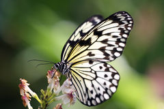 Tropical Butterfly. Butterfly feeding from flower in its natural habitat Stock Images
