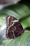 Tropical butterfly. On the green leaf Royalty Free Stock Photo