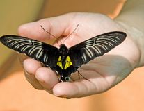 Tropical butterfly 4 Royalty Free Stock Images