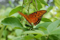 Tropical butterfly. Orange tropical butterfly Stock Images