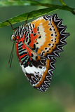 Tropical butterfly. Hanging on a leaf Royalty Free Stock Images