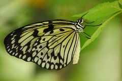 Tropical butterfly. Close up of the  tropical butterfly Royalty Free Stock Photo