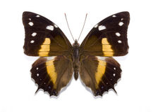 Tropical butterfly Baeotus deucalion Stock Photos