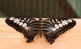 Tropical butterfly. Black butterfly royalty free stock photo