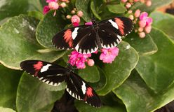 Tropical butterfly. Black butterfly royalty free stock images