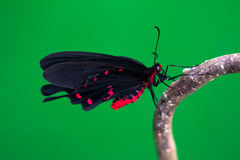Tropical butterfly. Black tropical butterfly on the tree. Macro photography of nature Royalty Free Stock Images
