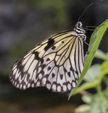 Tropical butterfly with black and white wings stock image
