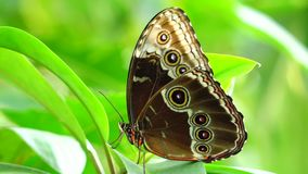 Tropical butterfly. Blue Morpho Morpho peleides stock footage
