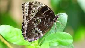 Tropical butterfly. Blue Morpho Morpho peleides stock video footage