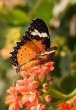 Tropical butterfly Cethosia biblis. Bright butterfly with orange wings