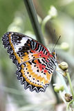 Tropical butterfly (cethosia cyane) Stock Photography