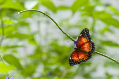 Tropical butterfly (Cethosia hypsea) Stock Photography