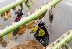 Tropical butterfly chrysalis Royalty Free Stock Images