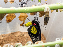 Tropical butterfly chrysalis Stock Photography
