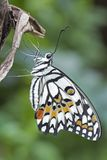 A white, black and orange tropical butterfly stock photo