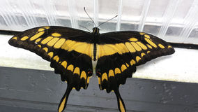 Tropical butterfly close to a window. Tropical yellow black butterfly close to a white window Royalty Free Stock Photography