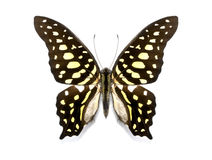 Tropical butterfly collection Graphium agamemnon stock photos
