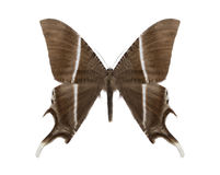 Tropical butterfly collection Lyssa zampa Royalty Free Stock Image
