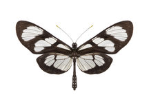 Tropical butterfly collection Methona themisto Stock Images