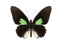 Tropical butterfly collection Parides sesostris Royalty Free Stock Photo