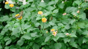 Tropical butterfly eats nectar on a flower stock footage