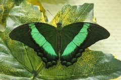 Tropical Butterfly Emerald swallowtail on the green leaf. Toned stock image