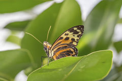 Tropical butterfly (Eueides isabella) Stock Photo
