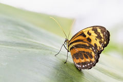 Tropical butterfly (Eueides isabella) Royalty Free Stock Photo