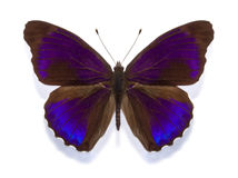 Tropical butterfly Eunica alpais excelsa Stock Photo