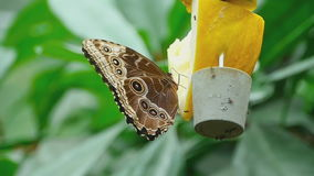 Tropical butterfly feeding stock video footage