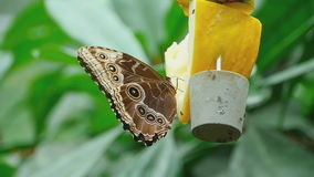 Tropical butterfly feeding. Tropical butterfly and Drosophilas feeding close-up, slow motion stock video