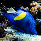 Tropical butterfly fish. Blue exotic butterfly fish in an aquarium Stock Images