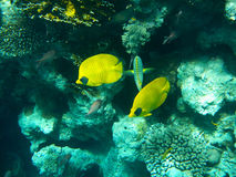 Tropical butterfly fish on Colourful coral reef in the Red Sea Stock Photography