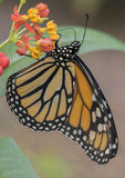 Tropical butterfly. A tropical butterfly on a flower Royalty Free Stock Photography