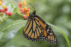 Tropical butterfly. A tropical butterfly on a flower Royalty Free Stock Photo
