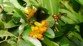 Tropical butterfly on a flower. Amber orchids and butterfly in the background stock footage