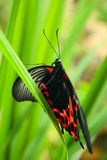 Tropical butterfly on grass. Black and red tropical butterfly on grass royalty free stock image