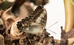 Tropical butterfly. Gray butterfly royalty free stock photography