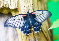Tropical butterfly Great Mormon Royalty Free Stock Photos