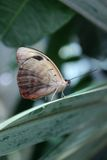 Tropical Butterfly on a Green Leaf. Tropical butterfly sitting on a green leaf Stock Photo