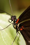 Tropical butterfly-Heleconius melpomene Royalty Free Stock Photos