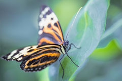 Tropical butterfly (Heliconius hecale zuleika) Stock Image