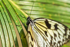 Tropical butterfly Idea white Rice paper or wood Nymph lat. Idea leuconoe on palm leaf Stock Photos