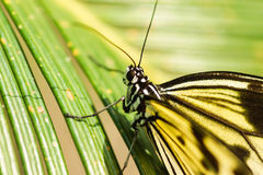 Daily tropical butterfly Idea white Rice paper or wood Nymph lat. Idea leuconoe on palm leaf Royalty Free Stock Image